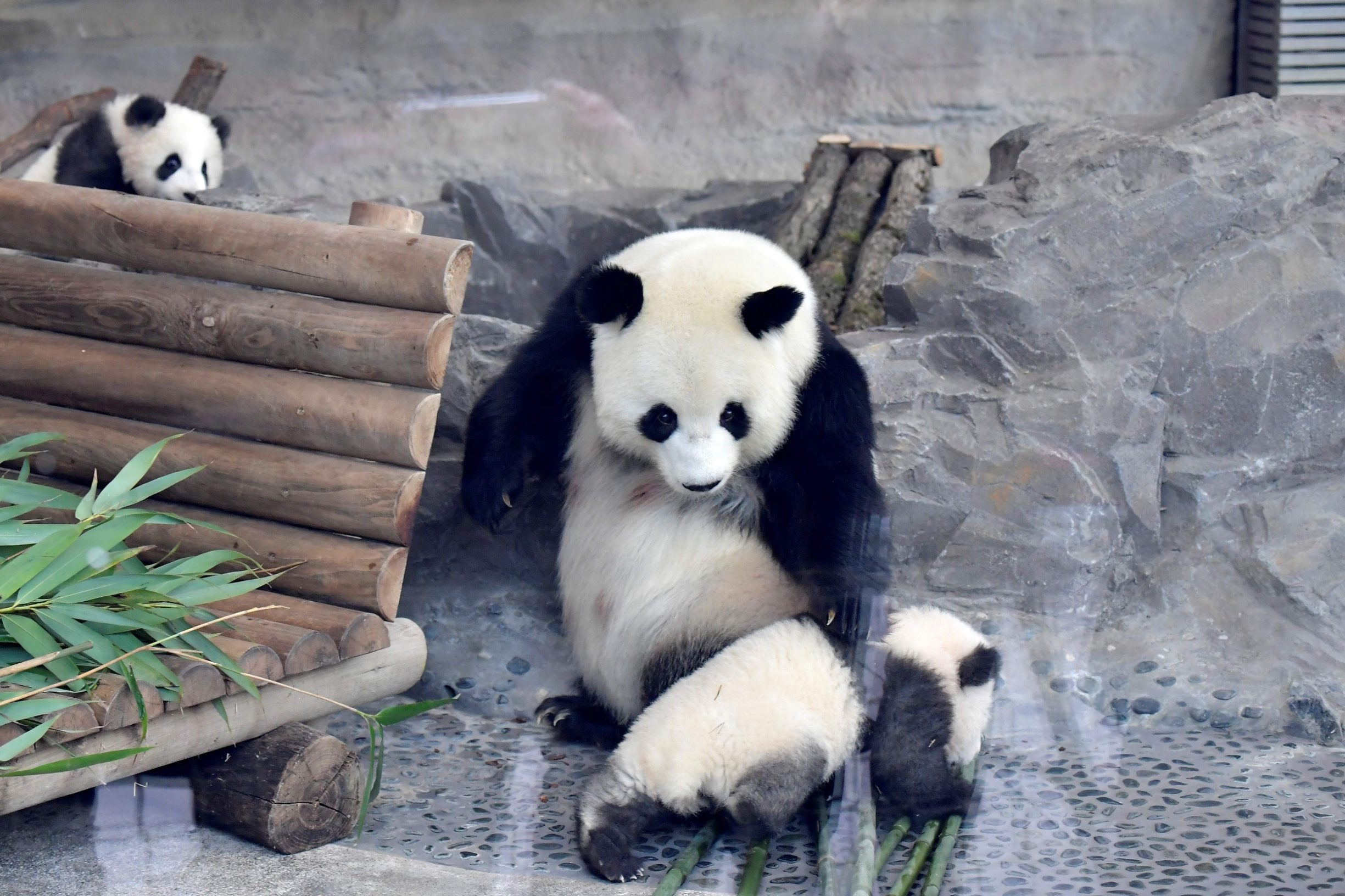 A picture taken on January 29, 2020 shows Meng Yuan and Meng Xiang, two Berlin-born Chinese panda cubs, with their mother Meng Meng at their enclosure during their first presentation to the public at the Zoologischer Garten zoo in Berlin. - Meng Meng gave birth to twins on August 31, 2019. On loan from China, Meng Meng and male panda Jiao Qing arrived in Berlin in June 2017. While the cubs, Meng Yuan and Meng Xiang, are born in Berlin, they remain Chinese and must be returned to China within four years after they have been weaned. (Photo by Tobias SCHWARZ / AFP)