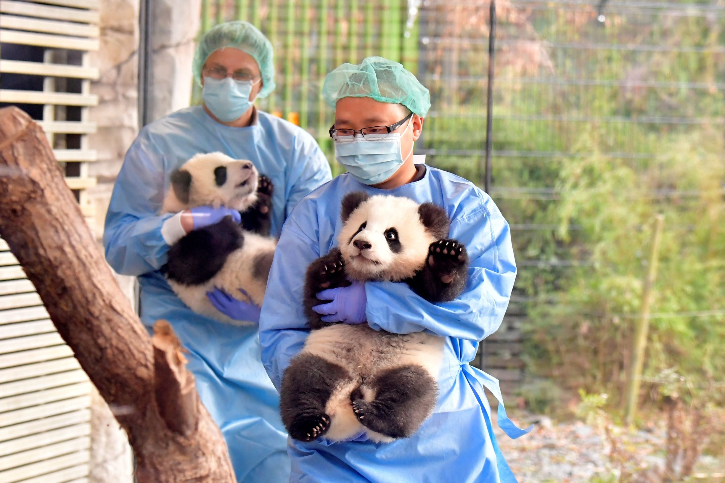 A picture taken behind a window on January 29, 2020 shows keepers, including Yang Cheng (R) carrying Meng Yuan and Meng Xiang, two Berlin-born Chinese panda cubs, in their enclosure during their first presentation to the public at the Zoologischer Garten zoo in Berlin. - Meng Meng gave birth to twins on August 31, 2019. On loan from China, Meng Meng and male panda Jiao Qing arrived in Berlin in June 2017. While the cubs, Meng Yuan and Meng Xiang, are born in Berlin, they remain Chinese and must be returned to China within four years after they have been weaned. (Photo by Tobias SCHWARZ / AFP)