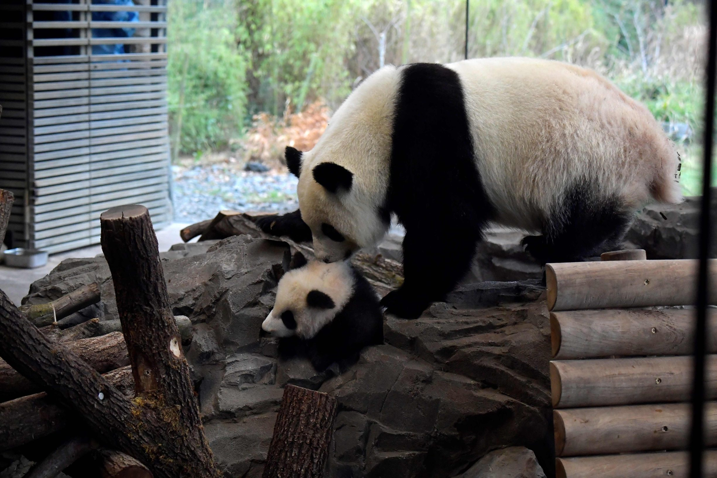 A picture taken on January 29, 2020 shows one of the two giant panda cubs with his mother Meng Meng at their enclosure during the first presentation of Berlin-born Chinese panda cubs Meng Yuan and Meng Xiang to the public at the Zoologischer Garten zoo in Berlin. - Meng Meng gave birth to twins on August 31, 2019. On loan from China, Meng Meng and male panda Jiao Qing arrived in Berlin in June 2017. While the cubs, Meng Yuan and Meng Xiang, are born in Berlin, they remain Chinese and must be returned to China within four years after they have been weaned. (Photo by Tobias SCHWARZ / AFP)