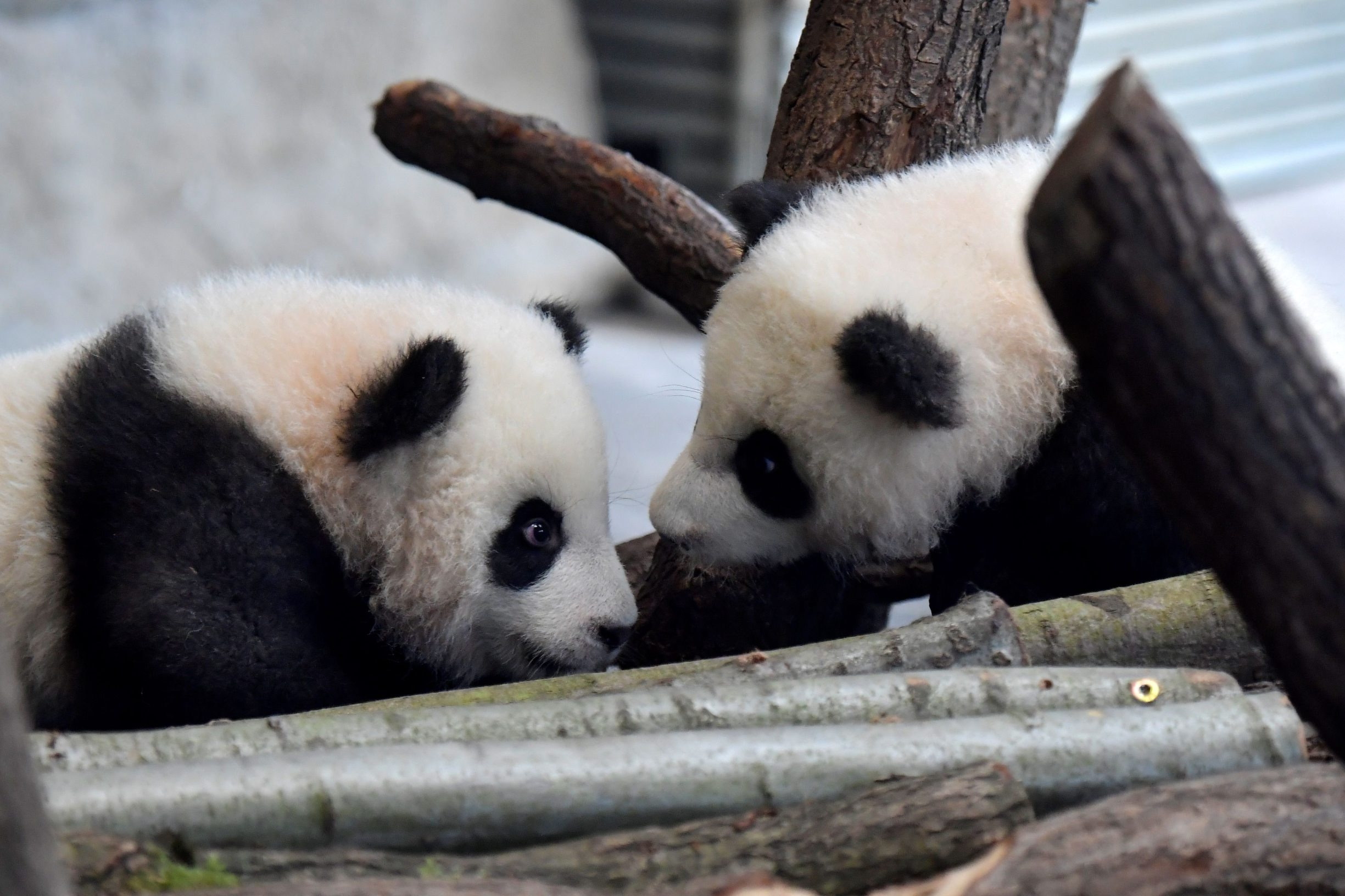 A picture taken on January 29, 2020 shows Meng Yuan and Meng Xiang, two Berlin-born Chinese panda cubs, at their enclosure during their first presentation to the public at the Zoologischer Garten zoo in Berlin. - Meng Meng gave birth to twins on August 31, 2019. On loan from China, Meng Meng and male panda Jiao Qing arrived in Berlin in June 2017. While the cubs, Meng Yuan and Meng Xiang, are born in Berlin, they remain Chinese and must be returned to China within four years after they have been weaned. (Photo by Tobias SCHWARZ / AFP)
