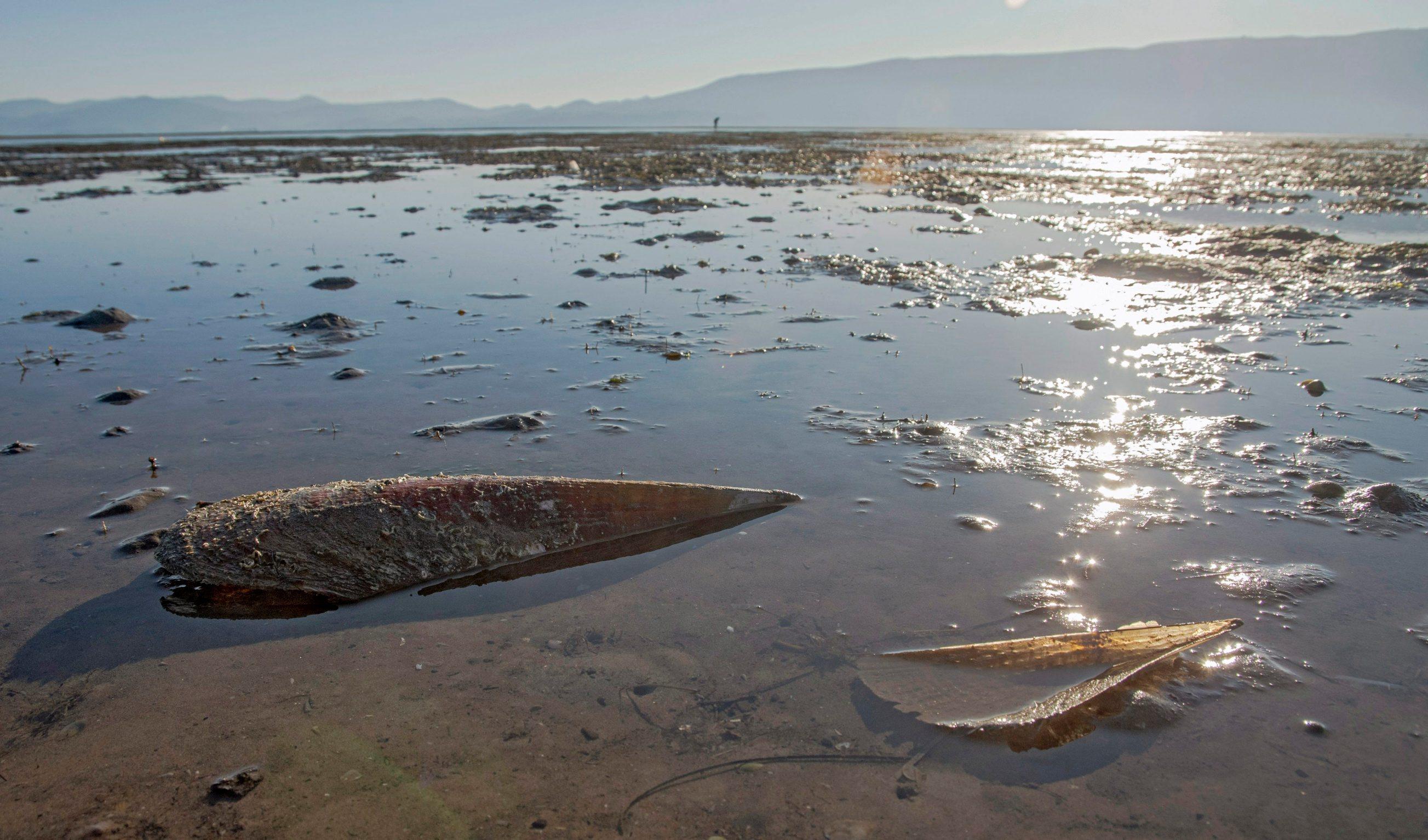 Usce Neretve, 040120. Pomor Periski na Uscu Neretve. U pojedinim dijelovima Mediterana periska ubrzano izumire zbog parazitske bolesti, koja je zahvatila i periske na uscu Neretve. Periska je inace zasticena vrsta ciji je izlov, sakupljanje te trgovna strogo zabranjena. Na fotografiji: Ljusture periski nakon oseke na uscu Neretve. Foto: Denis Jerkovic / CROPIX