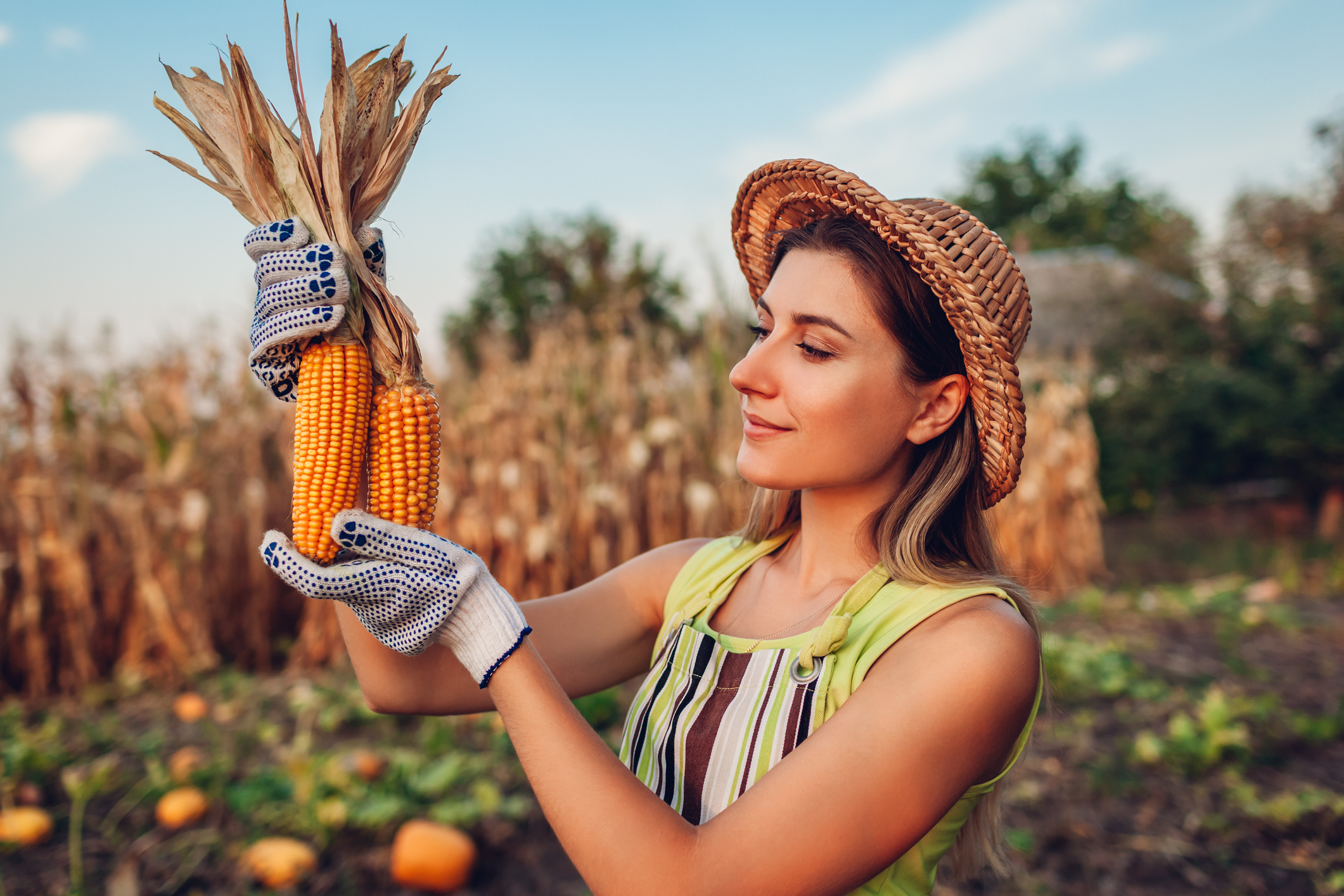 Corn. Young woman farmer picking corn harvest. Happy worker holding autumn corncobs. Farming and gardening