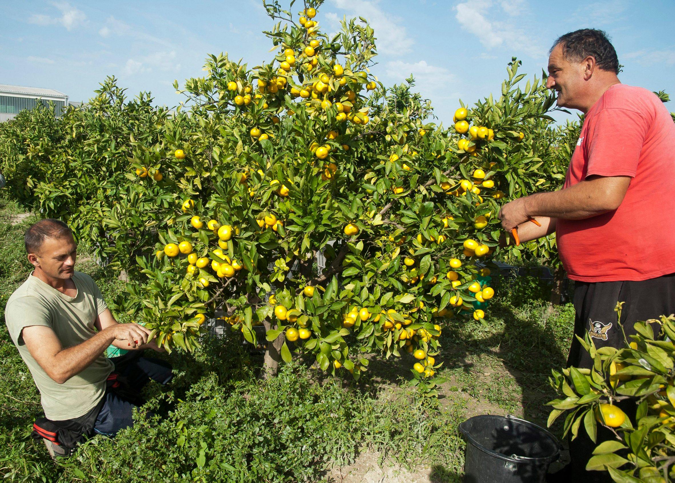 Berba mandarina u dolini Neretve