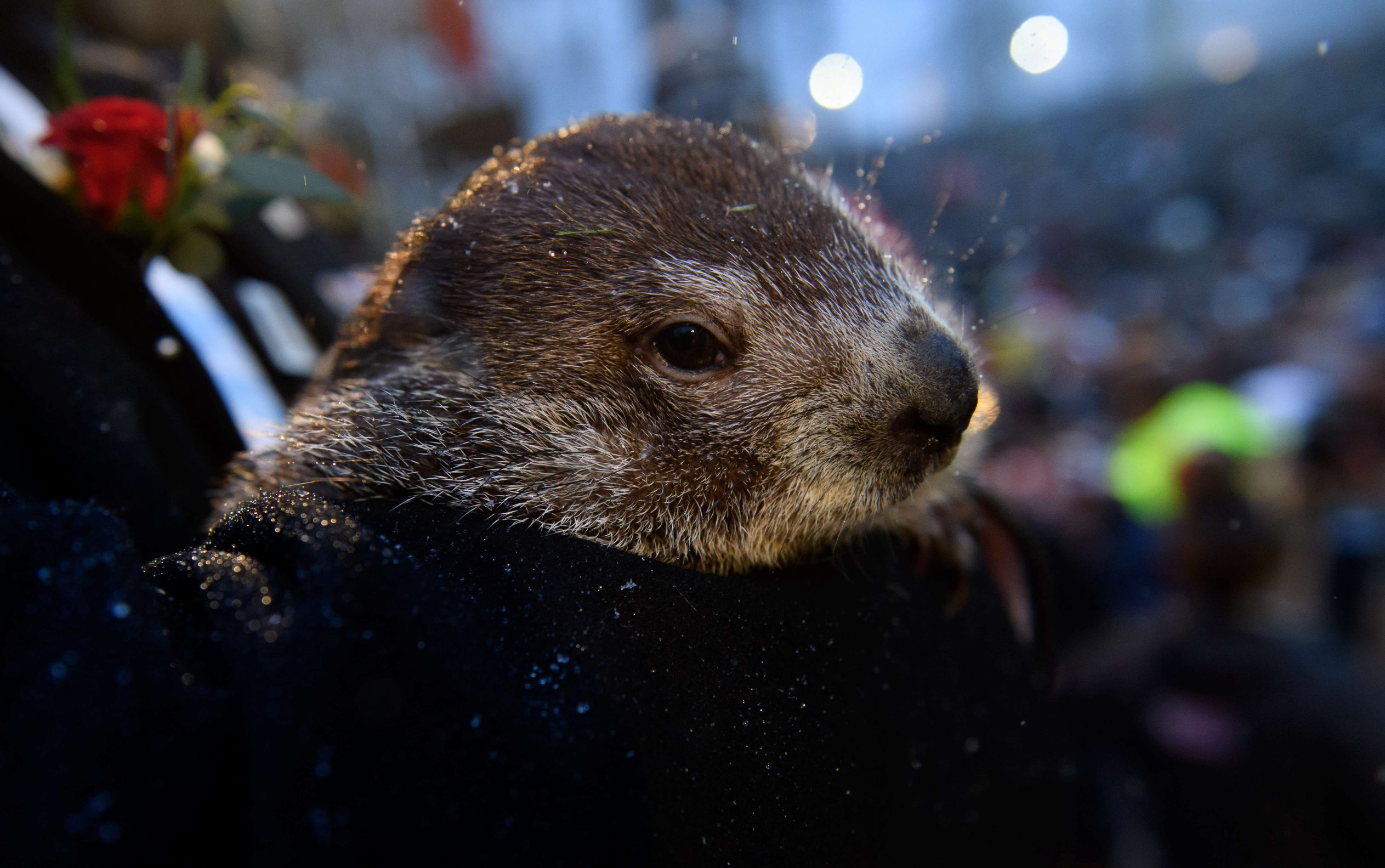 PUNXSUTAWNEY, PA - FEBRUARY 02: Groundhog handler John Griffiths holds Punxsutawney Phil, who did not see his shadow, predicting an early or late spring during the 134th annual Groundhog Day festivities on February 2, 2020 in Punxsutawney, Pennsylvania. Groundhog Day is a popular tradition in the United States and Canada. A crowd of upwards of 20,000 people spent a night of revelry awaiting the sunrise and the groundhog's exit from his winter den. If Punxsutawney Phil sees his shadow he regards it as an omen of six more weeks of bad weather and returns to his den. Early spring arrives if he does not see his shadow, causing Phil to remain above ground.   Jeff Swensen/Getty Images/AFP == FOR NEWSPAPERS, INTERNET, TELCOS & TELEVISION USE ONLY ==