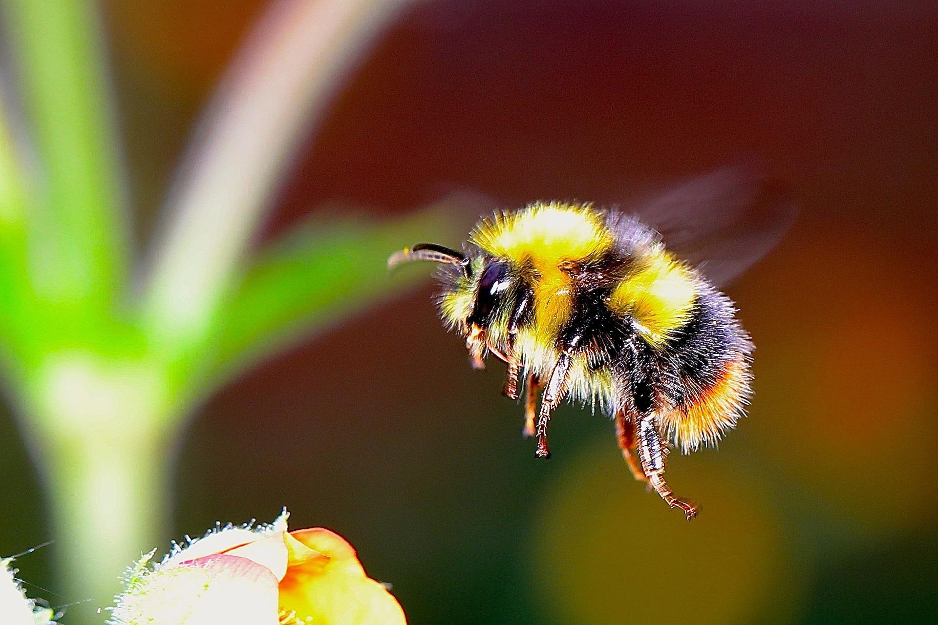 bumble-bee-2361336_1920