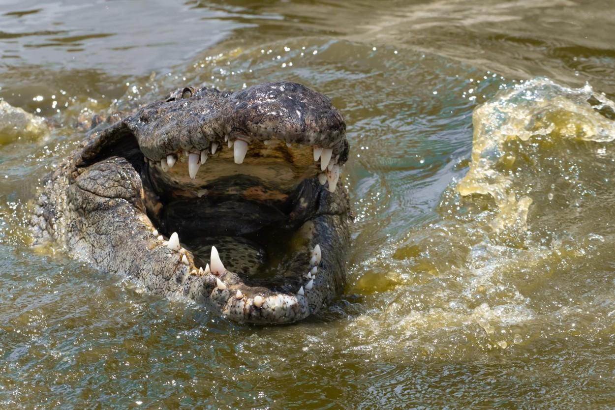 Nilski krokodil