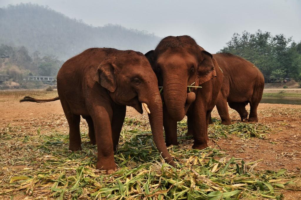 Slonovi u Tajlandu