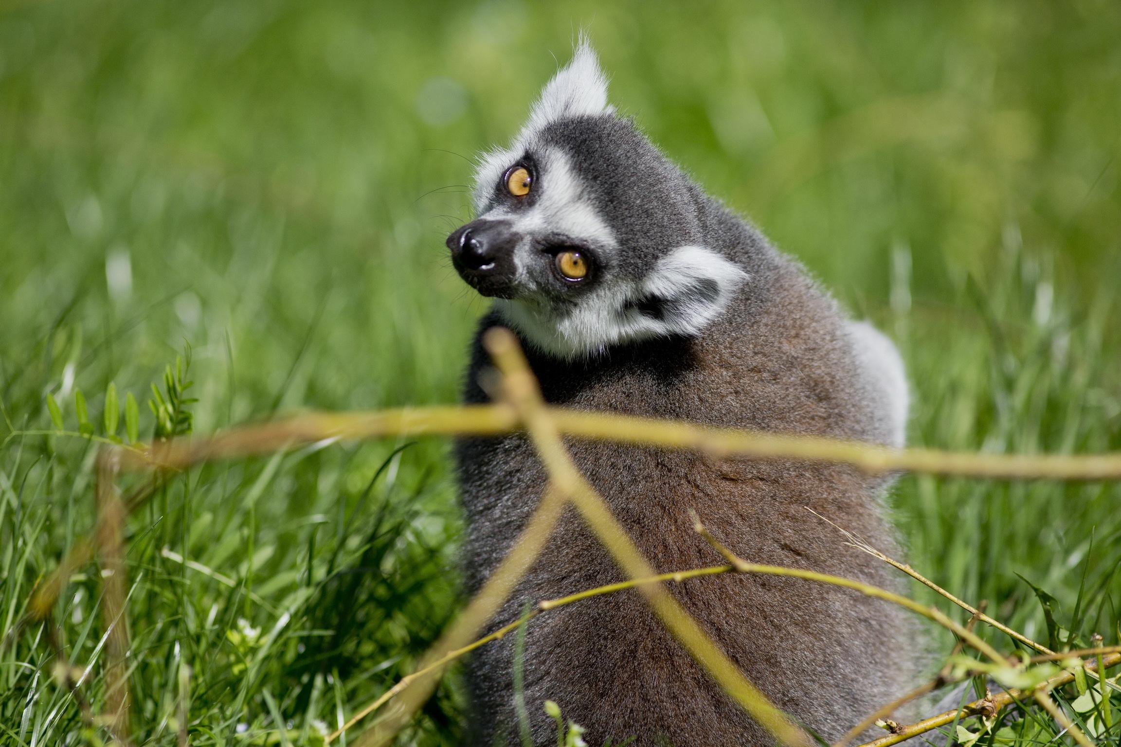 Prstenastorepa lemurica