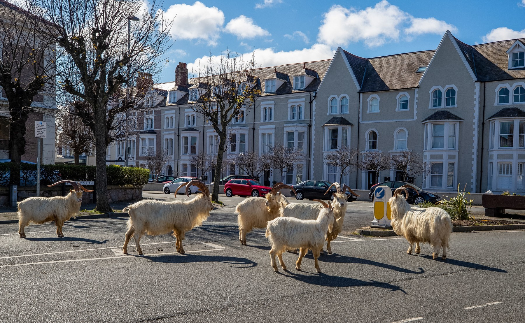 RETRANSMITTING CORRECTING DATE A herd of goats take advantage of quiet streets near Trinity Square, in Llandudno, north Wales. The gang of goats has been spotted strolling around the deserted streets of the seaside town during the nationwide lockdown., Image: 510882432, License: Rights-managed, Restrictions: , Model Release: no, Credit line: Peter Byrne / PA Images / Profimedia
