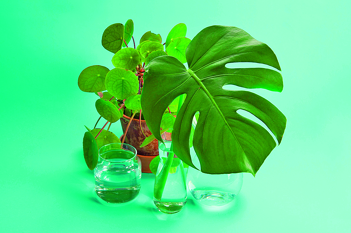 3 transparent glass vases filled with clear water and a branch of monstera deliciosa inside in front of a potted pilea peperomioide plant on a turquoise background. Play of light and transparency. Minimal still life color photography, Image: 446911295, License: Royalty-free, Restrictions: , Model Release: no, Credit line: Loulouvonglup / Alamy / Alamy / Profimedia