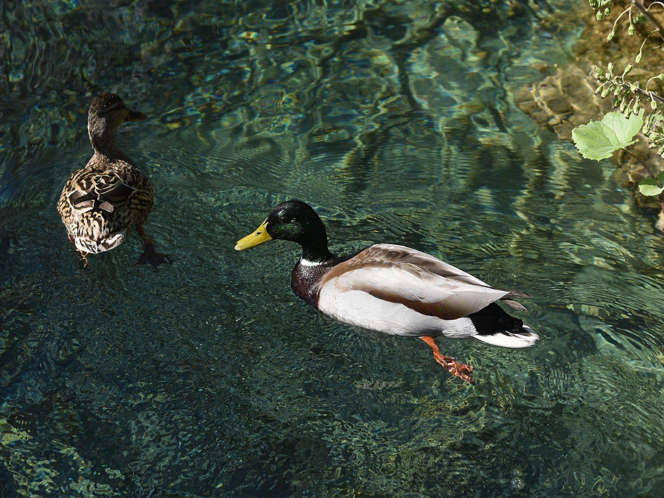 Plitvicka Jezera, 240420. Prvi put u svojoj povijesti Nacionalni park Plitvicka jezera zatvoren je za posjetitelje u sezoni. Na fotografiji: Divlje patke. Foto: Robert Fajt / CROPIX