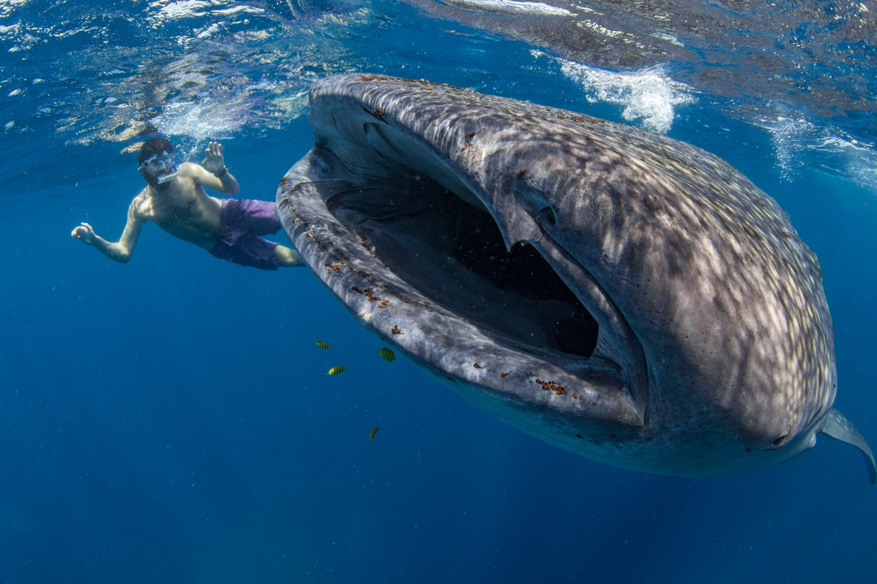 Snorkeller with a juvenile whale shark (Rhincodon typus) feeding on the suface in Honda Bay, Palawan, The Philippines, Southeast Asia, Asia, Image: 474731134, License: Rights-managed, Restrictions: , Model Release: no, Credit line: Duncan Murrell / robertharding / Profimedia