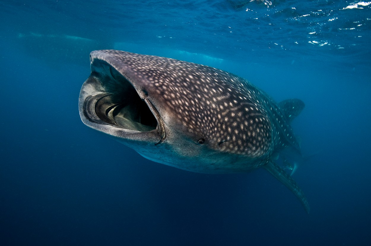 Whale shark (Rhincodon typus) feeding on plankton, Contoy Island, Quintana Roo, Mexico, Image: 295961983, License: Royalty-free, Restrictions: Specifically, you may not use the Images in ways or contexts that might reasonably be construed as pornographic, defamatory, libellous or otherwise unlawful; Specifically, you may not use images depicting any model in any unduly controversial or unflattering context, unless accompanied with a statement indicating that the person is a model and the images are being used for illustrative purposes only., Model Release: no, Credit line: Rodrigo Friscione / Cultura RF / Profimedia