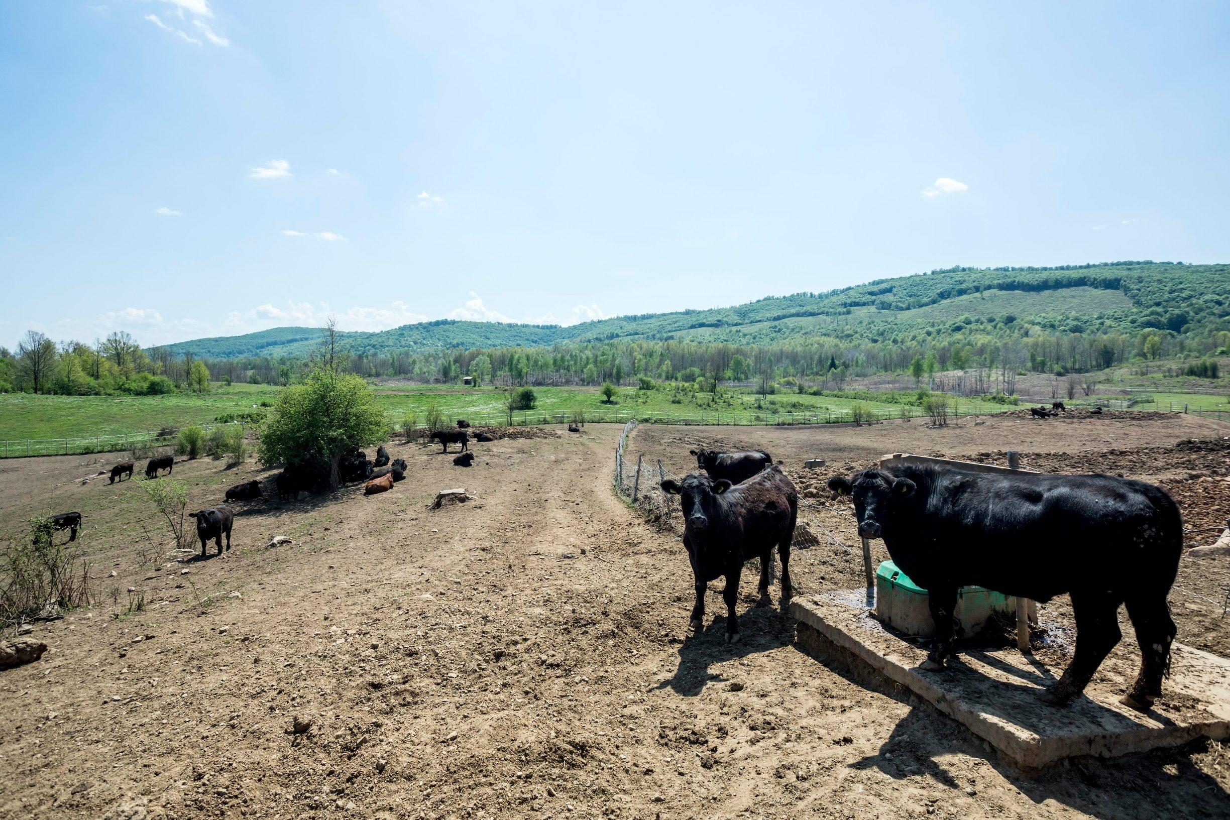 Gornji Poloj, Barilovic, 270420. Farma The M Brothers na kojoj braca Maturanec ozgajaju krave i krmace, te posjeduju vlastitu klaonicu. Na fotografiji: farma The M Brothers. Foto: Tomislav Kristo / CROPIX
