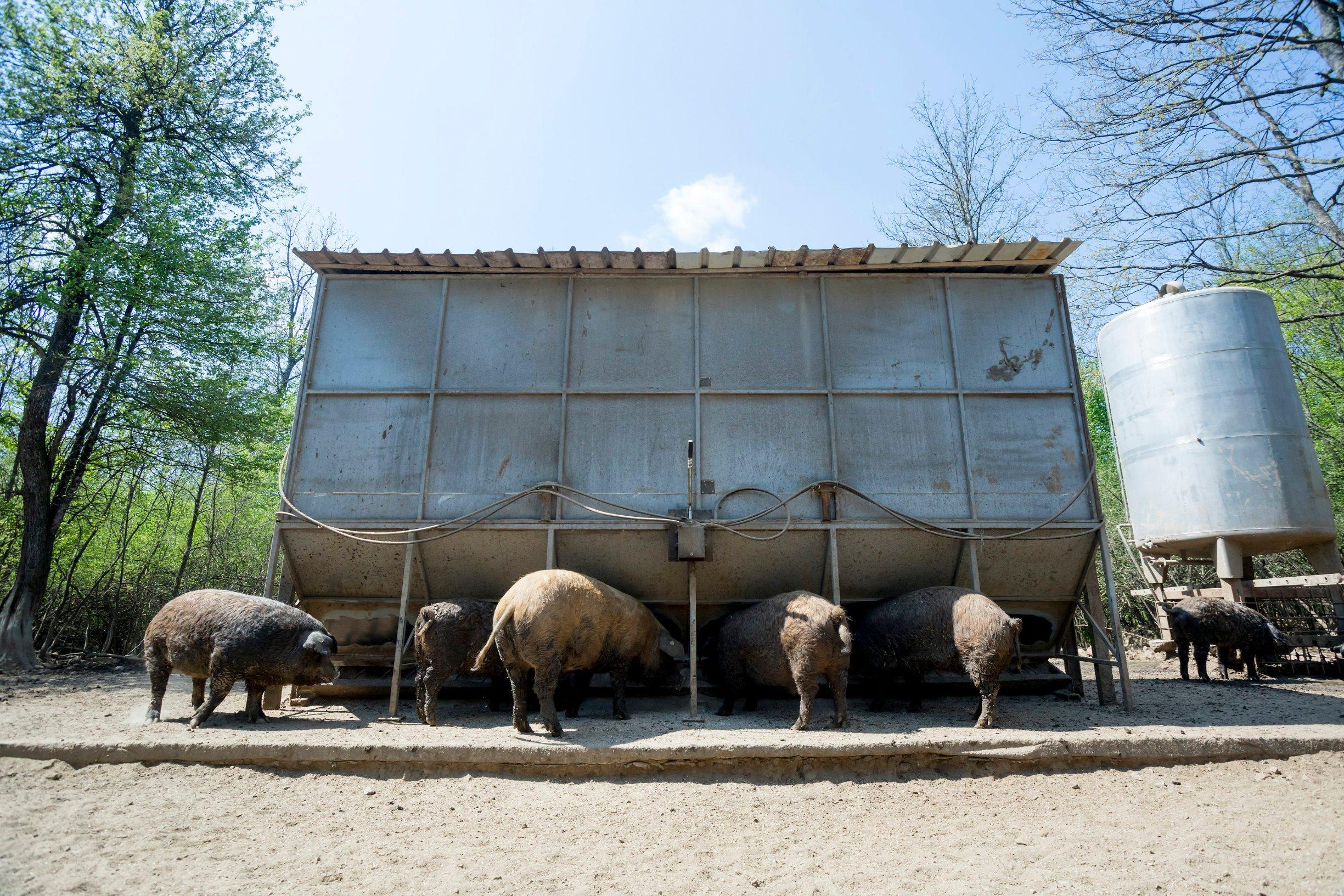 Gornji Poloj, Barilovic, 270420. Farma The M Brothers na kojoj braca Maturanec ozgajaju krave i krmace, te posjeduju vlastitu klaonicu. Na fotografiji: krmace mangalice. Foto: Tomislav Kristo / CROPIX