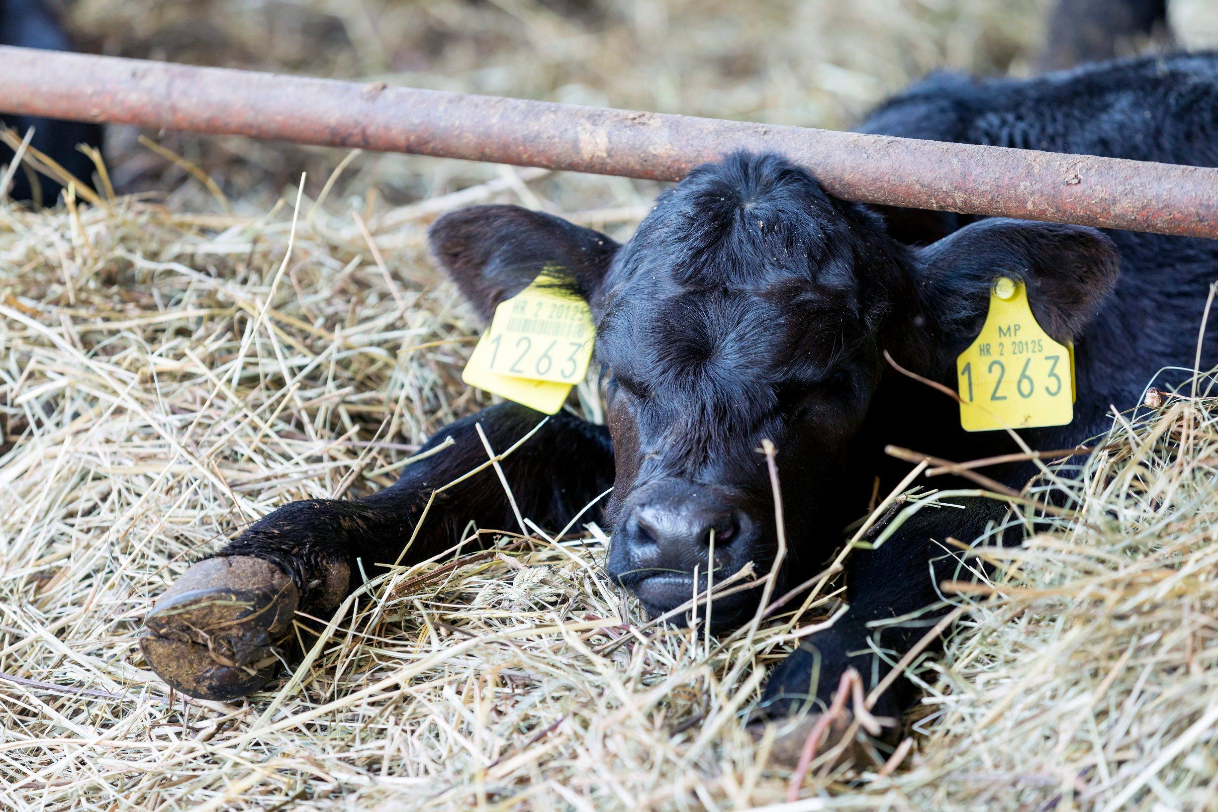 Gornji Poloj, Barilovic, 270420. Farma The M Brothers na kojoj braca Maturanec ozgajaju krave i krmace, te posjeduju vlastitu klaonicu. Na fotografiji: krave. Foto: Tomislav Kristo / CROPIX
