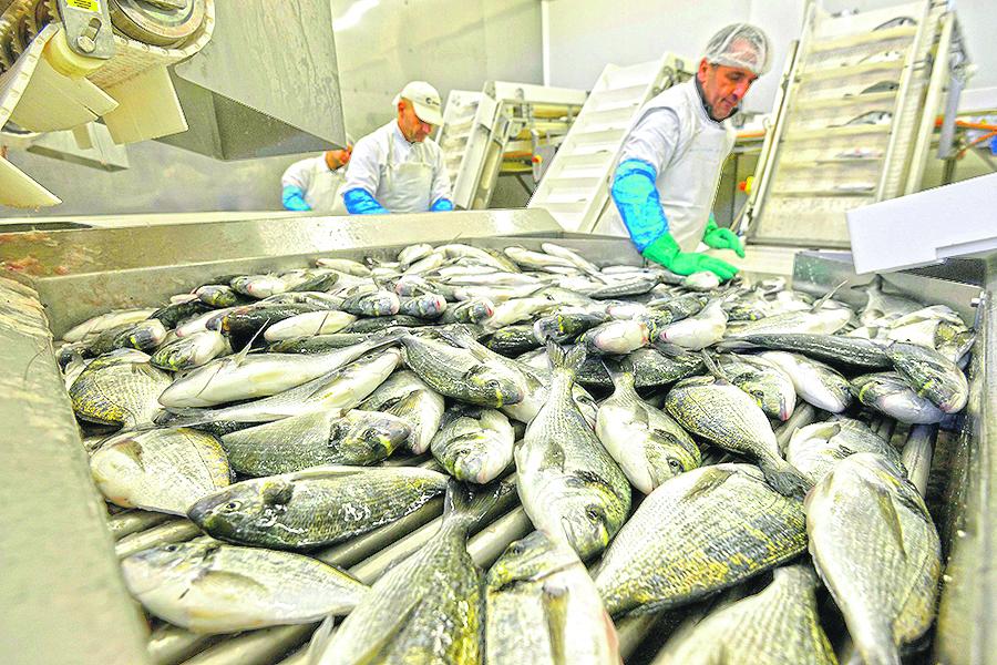 Zadar, 211216. Reportaza o tvrtki za uzgoj bijele ribe Cromaris. Na fotografiji: prerada ribe. Foto: Bruno Konjevic / CROPIX