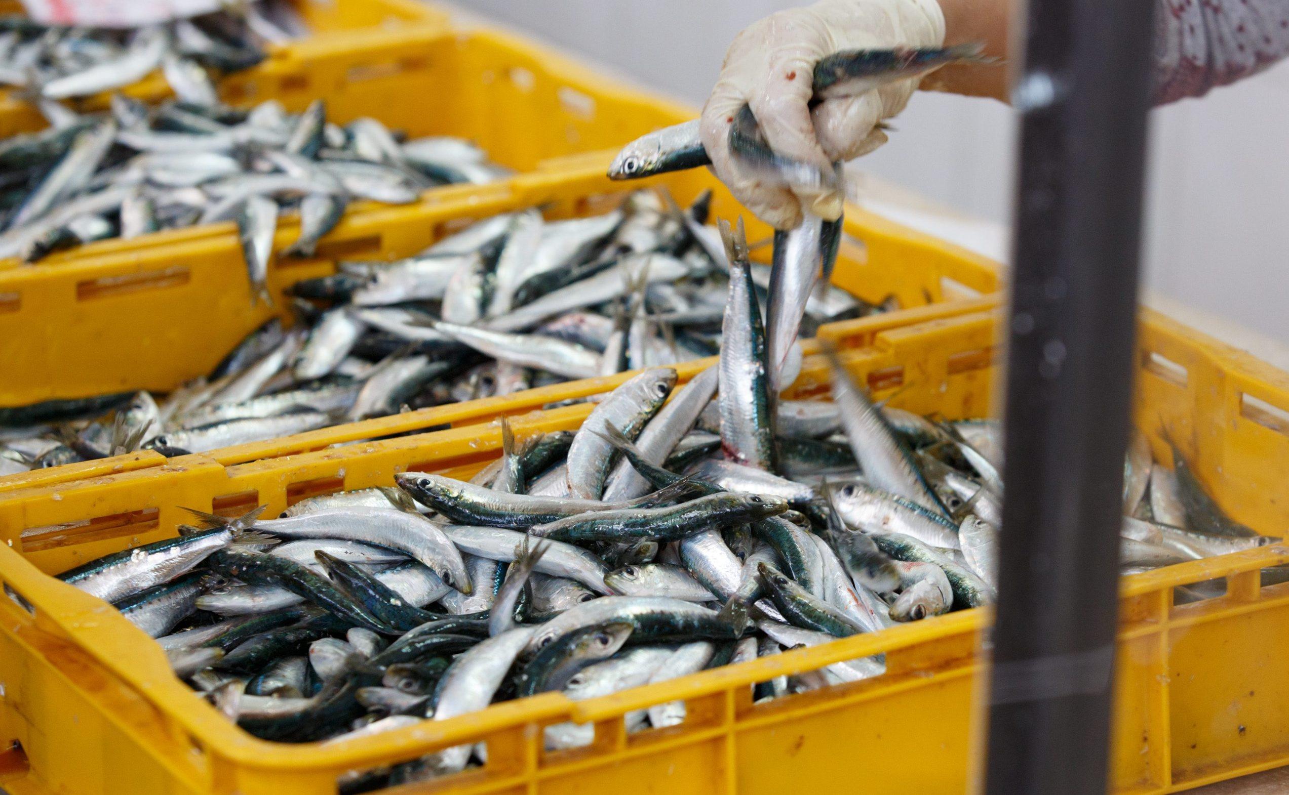 Split, 170420. Prodaja ribe na splitskoj ribarnici odvija se u skladu s preporukama epidemiologa. Ponuda nije obilna, ali nema ni previse kupaca. Foto: Jakov Prkic / CROPIX