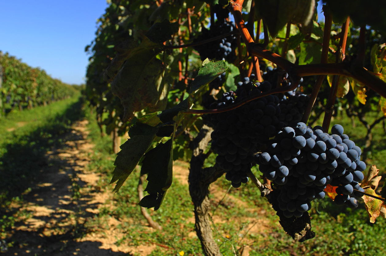 Vineyard, Croatia