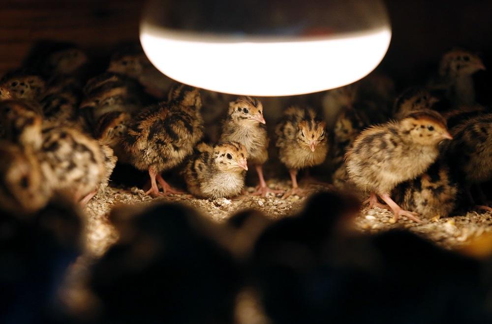 Velika Gorica, 210315. Lazina Cicka, OPG Perecinec. Uzgoj prepelica i prepelicjih jaja na imanju OPG Perecinec. Na fotografiji: uzgoj prepelica. Foto: Marko Todorov / CROPIX