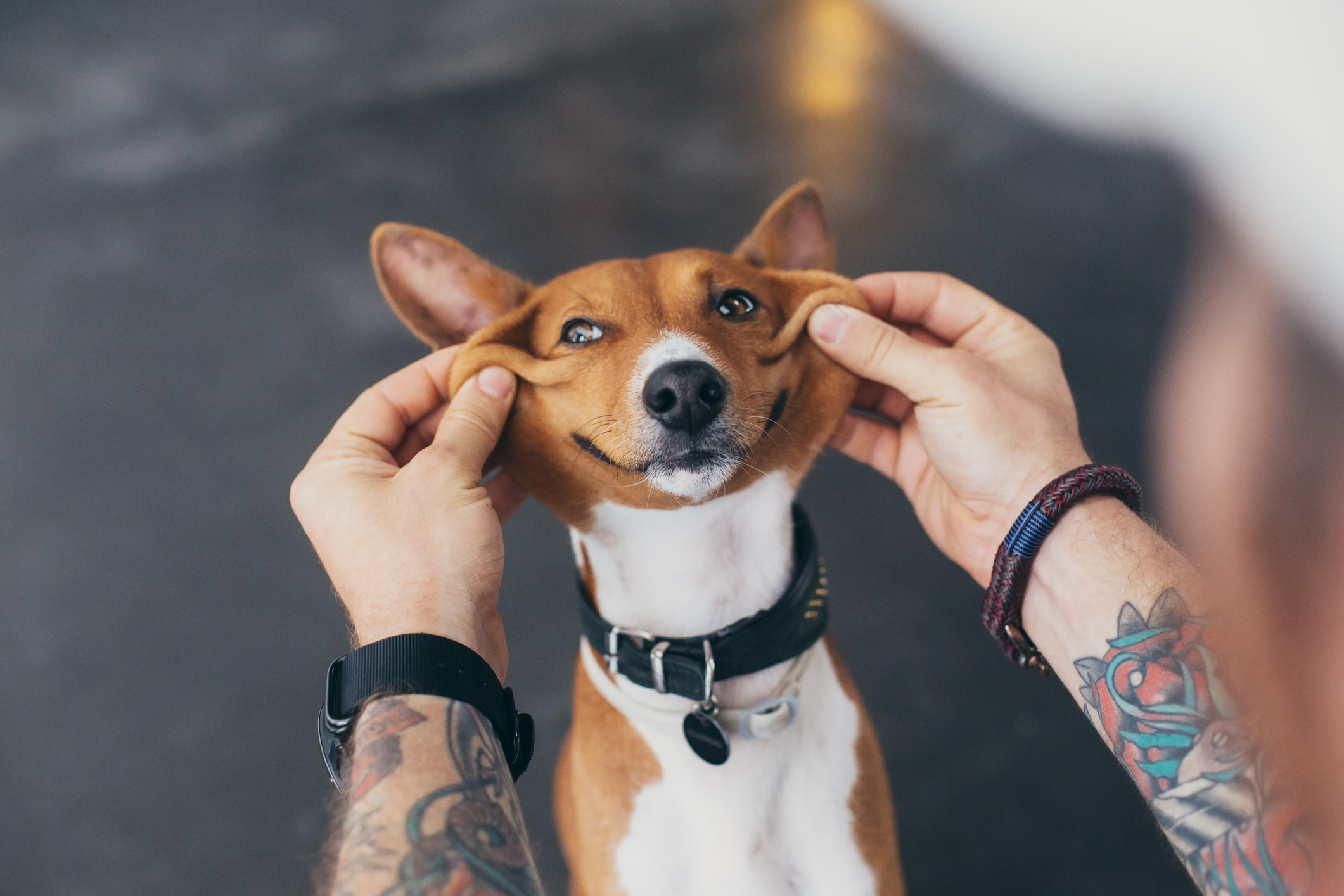 Basenji pup owner stretches his dog face into a huge cute smile that creates a funny effect, concept friendhsip, pet