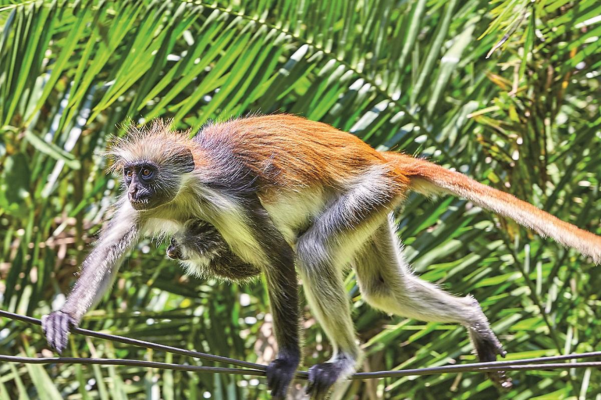 Zanzibar Red Colobus monkey and baby in Jozani Forest.