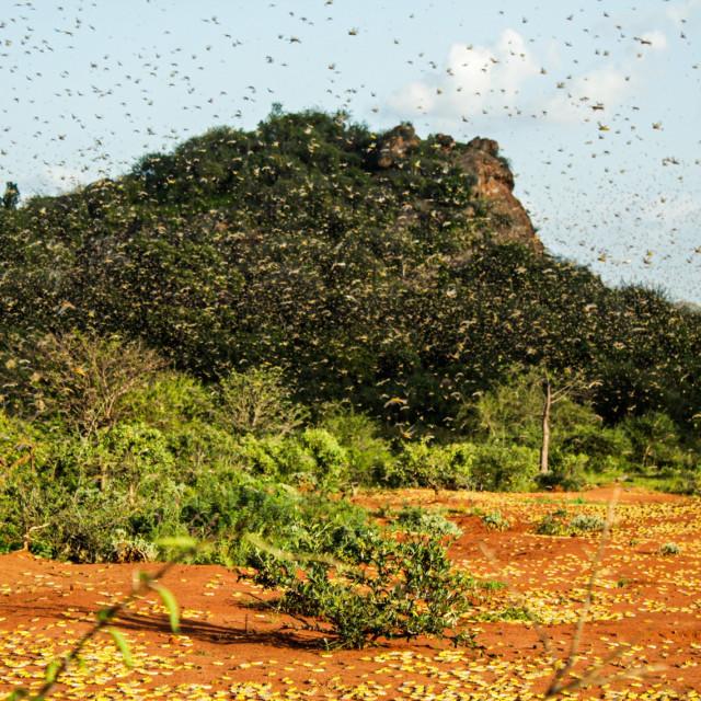 Rojevi skakavaca u Africi