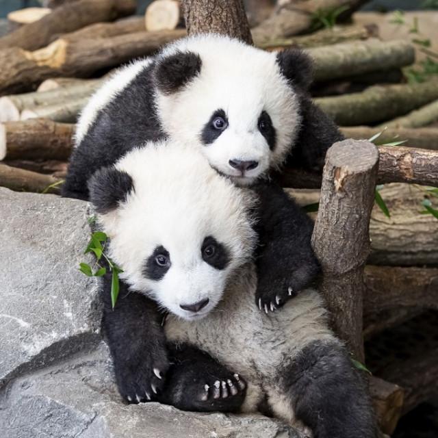 Pande Pit (naprijed) i Paule u berlinskom zoološkom vrtu