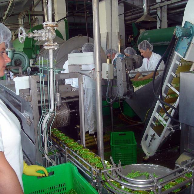 Arhivska fotografija: Prerada svježeg graška u Podravkinoj Tvornici Kalnik u Varaždinu