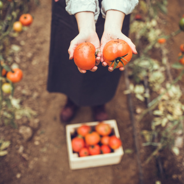 Iako su rajčice zapravo voće, svi ih koristimo kao povrće