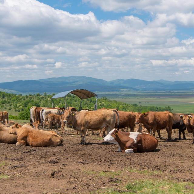 Farma Aubrac krava u vlasništvu Mladena Kušekovića.