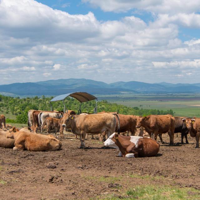 Farma Aubrac krava u vlasnistvu Mladena Kušekovića.