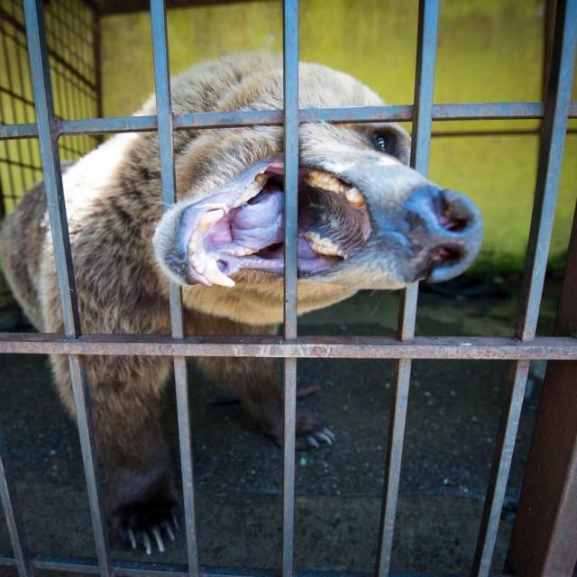 Medvjed u kavezu u Tirani