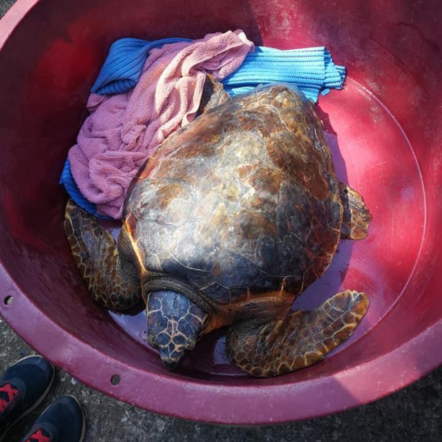 Glavata želva Marvin