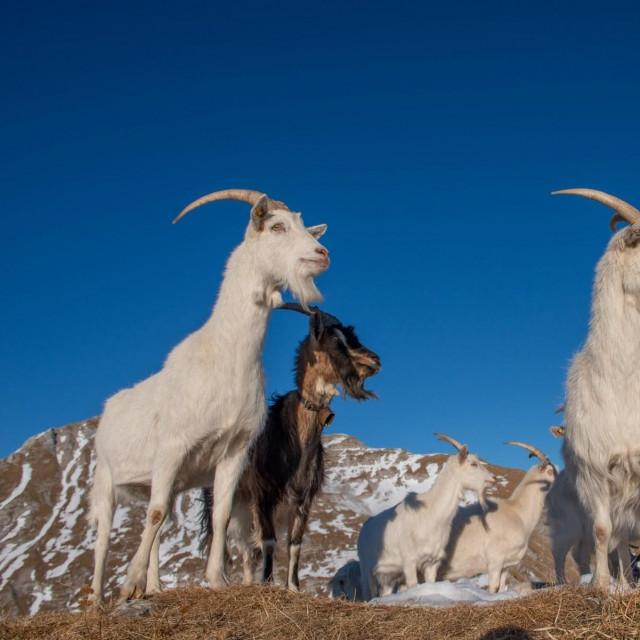 koze u himalajskoj regiji Ladakh