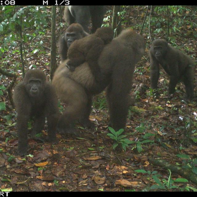 gorile snimljene u Nigeriji