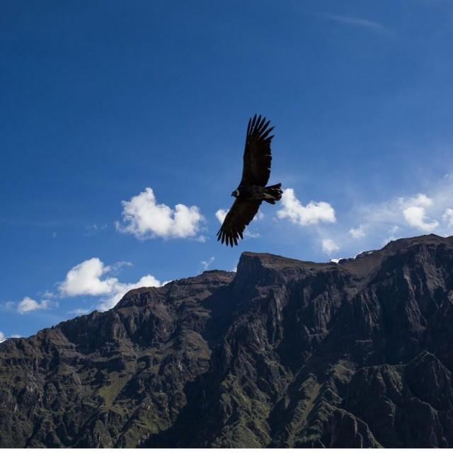 Let andskog kondora