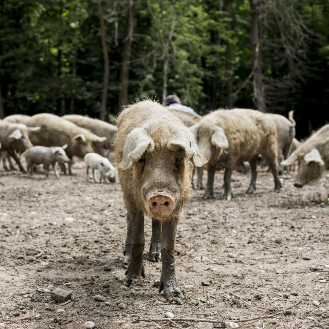 Turopoljske svinje, uzgoj i prerada.