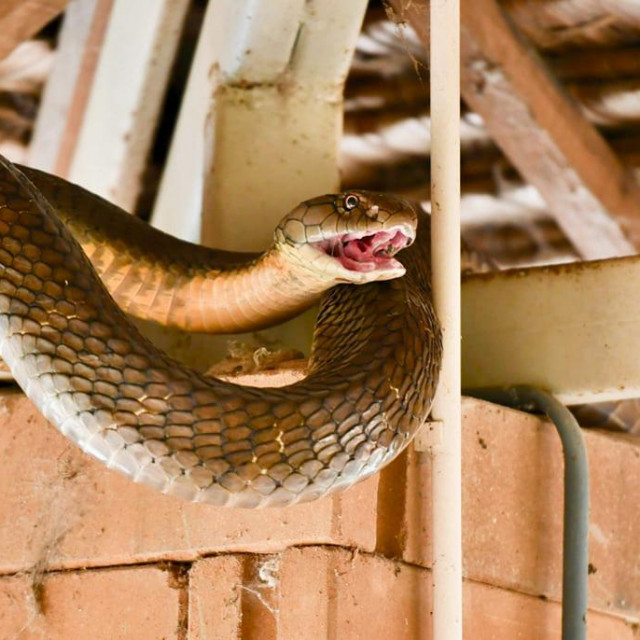 kraljevska kobra