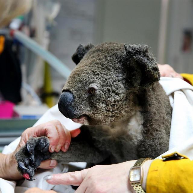 koala koja je stradala u požarima u Australiji
