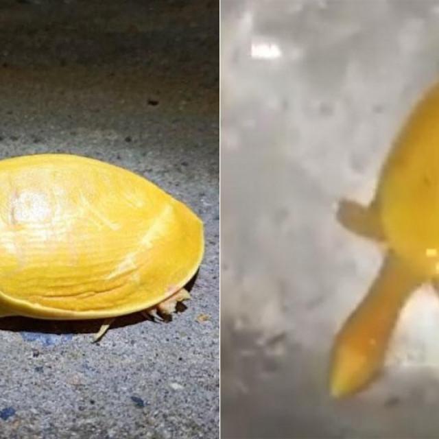 Žuta kornjača