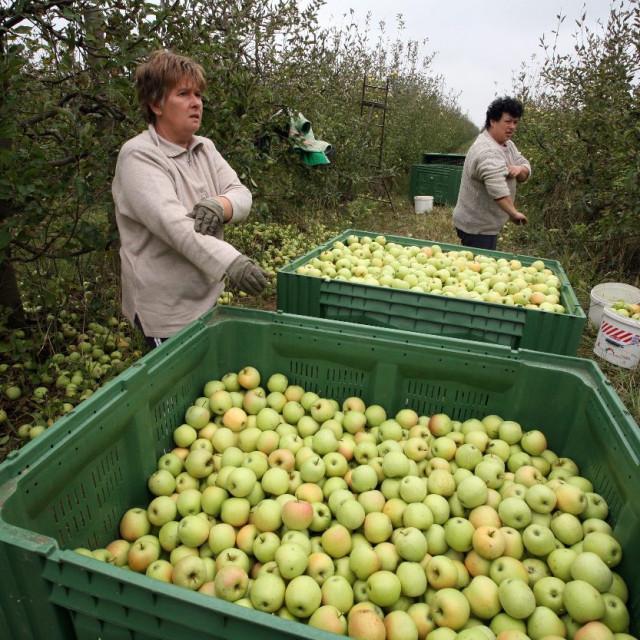 Berba jabuka u Borincima, arhiva