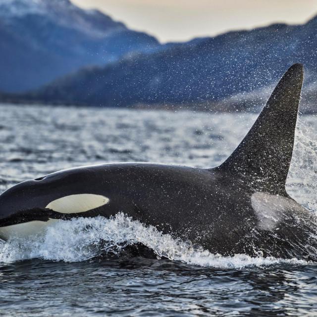 Kit ubojica ili orka, ilustracija