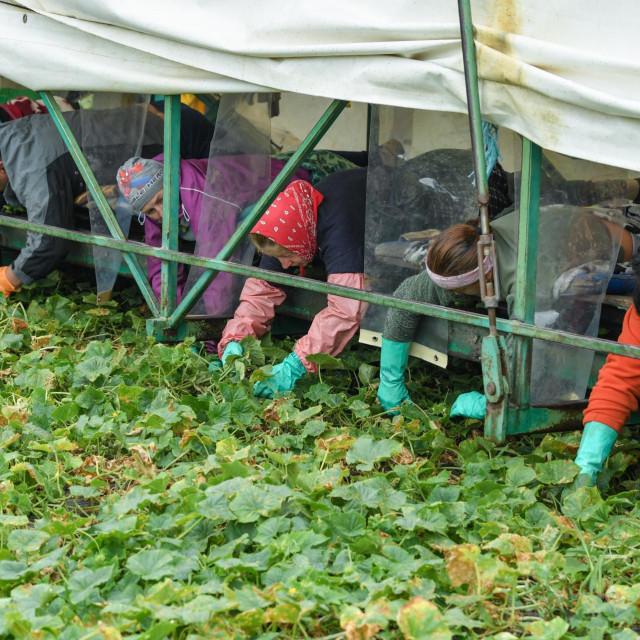 Sezonski radnici iz Rumunjske beru krastavce na farmi u njemačkoj pokrajini Brandenburg