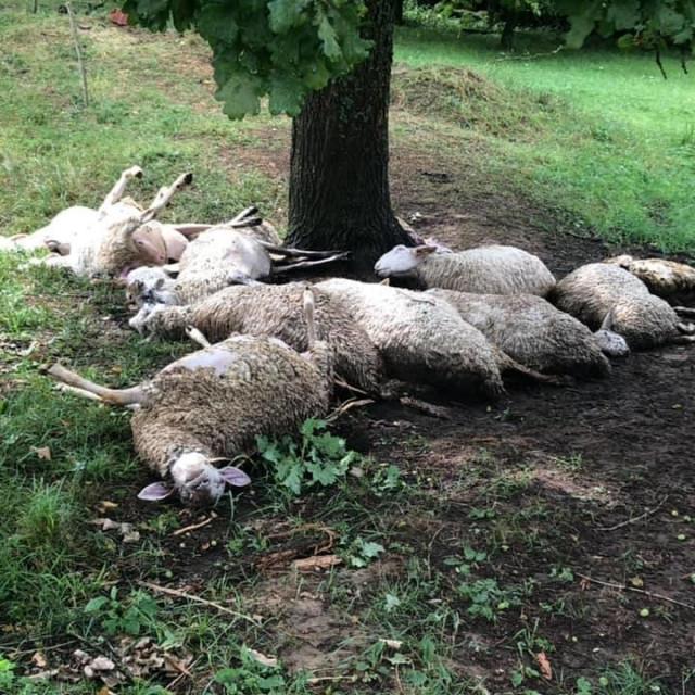 Grom ubio ovce u Turčević Polju