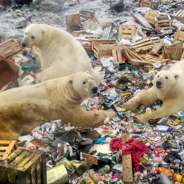 Skupina polarnih medvjeda u nedostatku hrane dolazi na odlagalište u zabitnom djelu Ruskog sjevernog arhipelaha Nova Zemlja. Zbog klimatskih promjena polarni medvjedi bi mogli izumrjeti tijekom trajanja jednog ljudskog života, prema istraživanju od 20.7.2020.