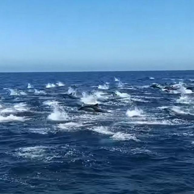 Stampedo delfina