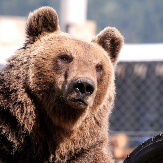 Medvjed kod Macole
