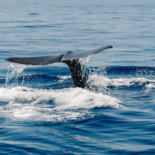 fin whale finback whale Mediterranean Sea Nizza
