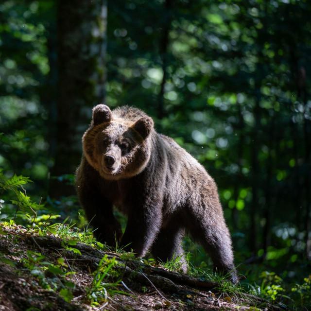 Ilustracija, smeđi medvjed